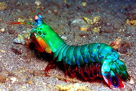 shrimp color more than meets the eye amasian science