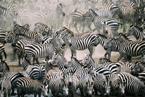 zebra migration pattern 7 reasons to travel to botswana luxury botswana safari