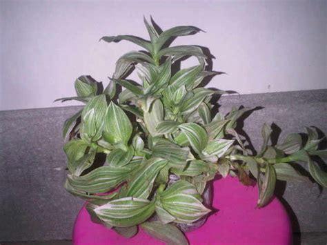 Tanaman Hias Tradescantia Silver tanaman tradescantia fluminensis quicksilver