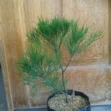 Daun Ungu Variegata 20 40cm tanaman cemara embun bibitbunga