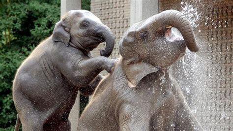 descubren  sexto dedo en las patas de los elefantes abces