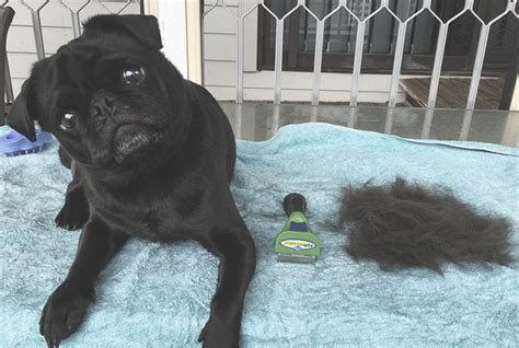 my pug is shedding like furminator purchase of the month the pug diary