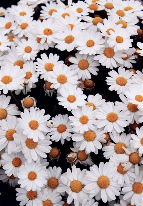daisy wallpaper pinterest daisy field on tumblr