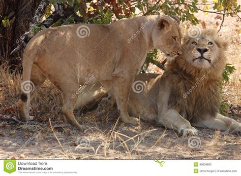 african mating ritualsvideos lions mating stock photo image 49609803