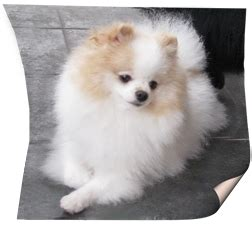 bo the pomeranian shafran sheeny kennel quot pomeranian and kleinspitz puppy for sale quot spitz pictures quot
