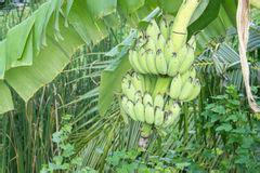 Mit Freundlichen Gr En Portugiesisch Brasilien bananenstaude mit einem b 252 ndel reifen bananen stockfoto