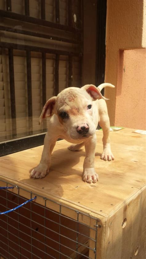 solid white pitbull puppies for sale solid white american pit bull terrier puppy for sale pets nigeria