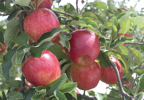 apple new zealand new zealand apple koru finds fans good fruit grower