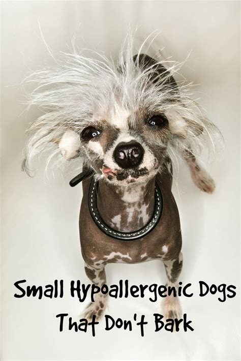 small hypoallergenic dogs 17 best ideas about hypoallergenic breed on