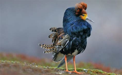 ruff ruff ruff birds cross dress to females and it s all in their genes