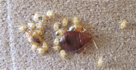 do bed bugs jump or fly can bed bugs jump 28 images faq can bed bugs jump or