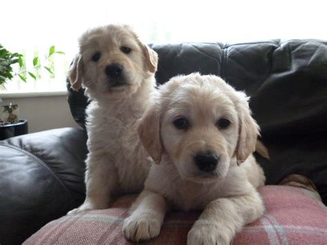 goldendoodle bred with golden retriever pin goldendoodle golden retriever labrador mix breed hybrid on