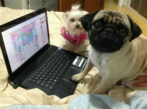 pug computer 12 best images about pugs on computers on computers itunes and pet insurance