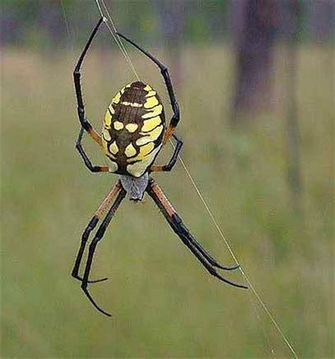 Garden Spider New York Garden Spider Is Intimidating But A Friend To Gardeners