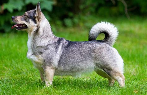 swedish breeds swedish vallhund v 228 stg 246 taspets herding breeds