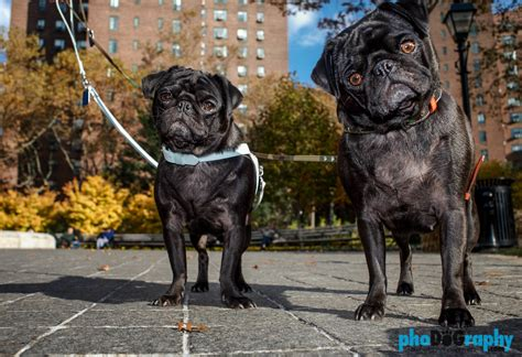 nyc pug outdoor pet portraits in nyc photography pet portraits in manhattan