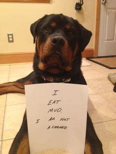 what does a rottweiler eat 1000 images about pets on baby rottweiler rottweilers and pigs