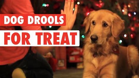 do pugs drool a lot adorable golden retriever drools for treats a s