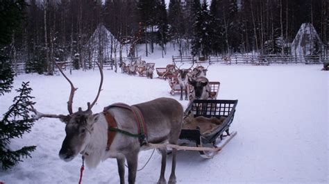 where to buy a sled and reindeer for the roof of your house reindeer farm visit and reindeer sleigh ride visit rovaniemi