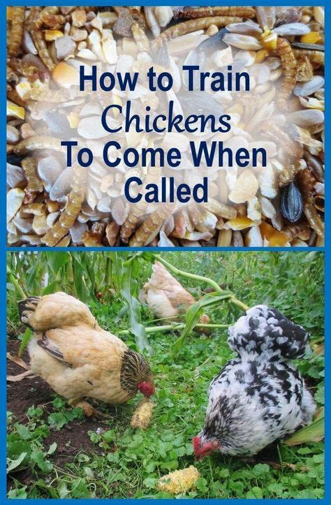 how to keep chickens in your backyard 270 best images about chickens chicken coops etc on