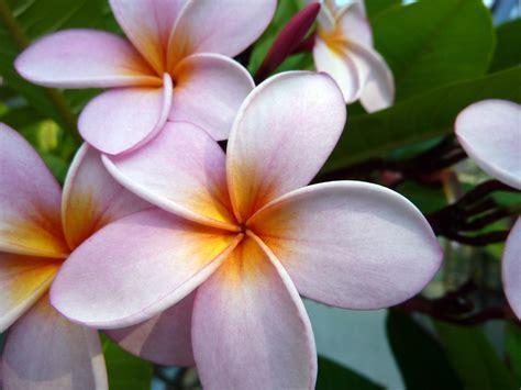 frangipane fiore fiori frangipane frangipani flowers silvana