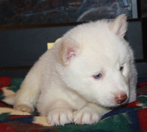 puppy scams beware of siberian husky puppy scams
