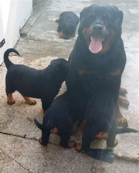 german rottweiler puppies for sale in german rottweiler puppies for sale pets4homes