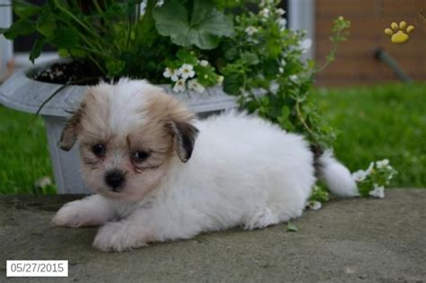 shichon puppies for sale in ky 25 best ideas about shichon puppies for sale on shih tzu for sale