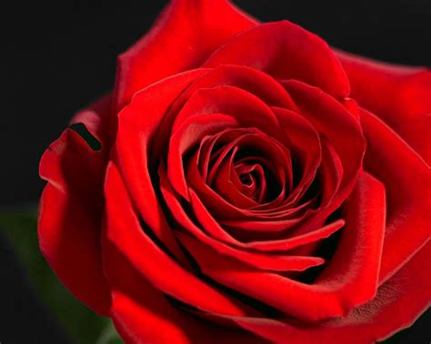 red roses best flowers red rose rose the beautiful red