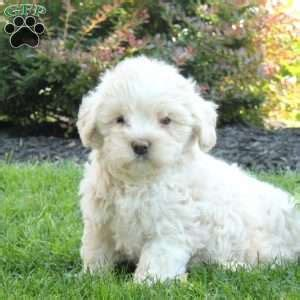 maltipoo puppies for sale in md maltipoo puppies for sale in pa md ny nj greenfield puppies breeds picture