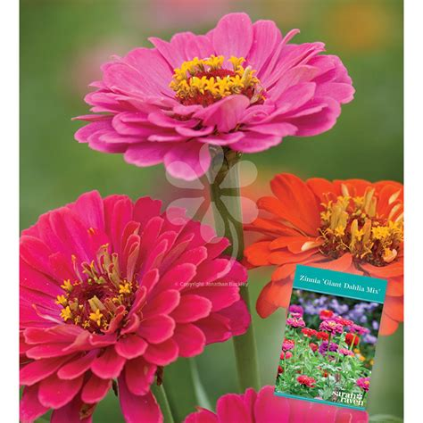 justina blakeney bigcartel justina blakeney bigcartel 100 common zinnia nice red