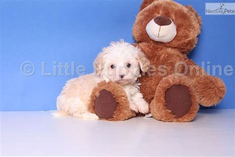 pooton puppies meet a malti poo maltipoo puppy for sale for 699 teacup poo ton