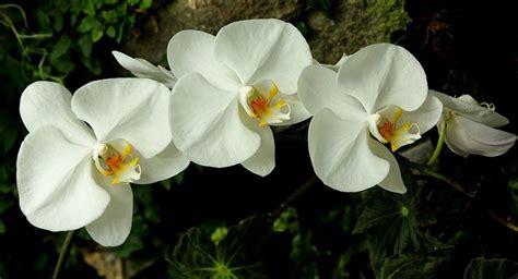 Cattleya Peony la orqu 237 dea plantas