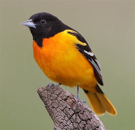 baltimore oriole bird nut blog