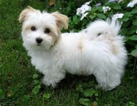 animal planet havanese 1000 images about havanese on havanese puppies havanese dogs and