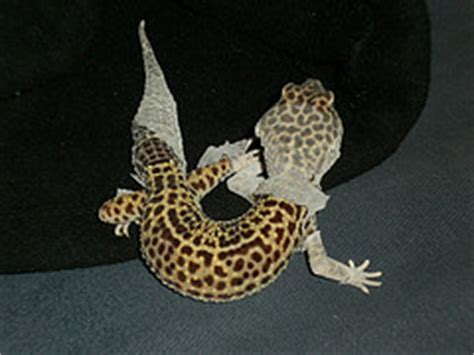 How To Help A Leopard Gecko Shed by Readers Questions Answered Mixing Species And Shedding