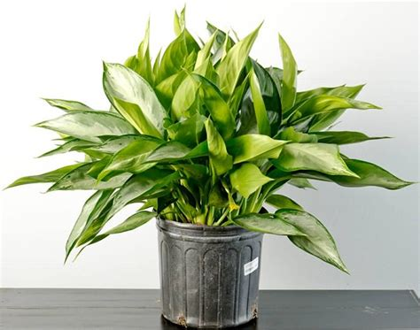 easiest indoor plants 19 easiest houseplants you can grow without care balcony