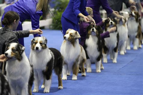 akc puppy conformation shows american kennel club