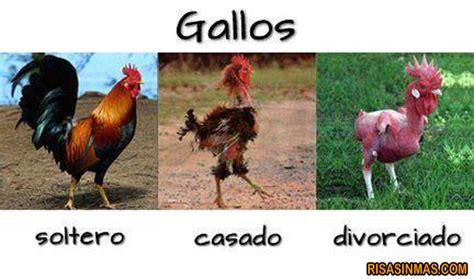 frases para gallos de rias aspecto gallos seg 250 n su estado