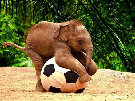 Gajah Lucu lucu bayi gajah anak bermain dengan hd sepakbola desktop