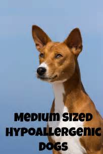 medium size dogs medium sized hypoallergenic dogs dogvills