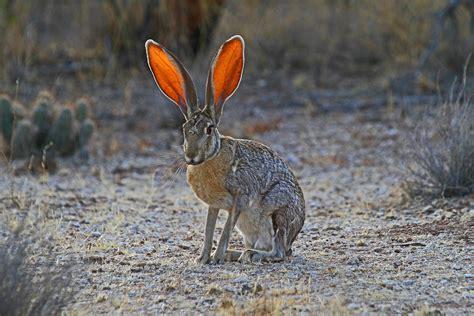 antelope jackrabbit saguaro national park hit    flickr