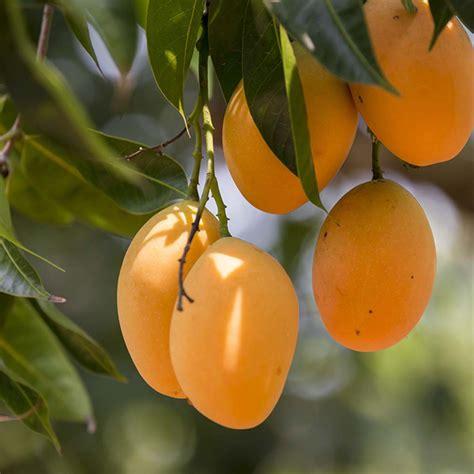 buy tree  chandigarh mango plant   nursery