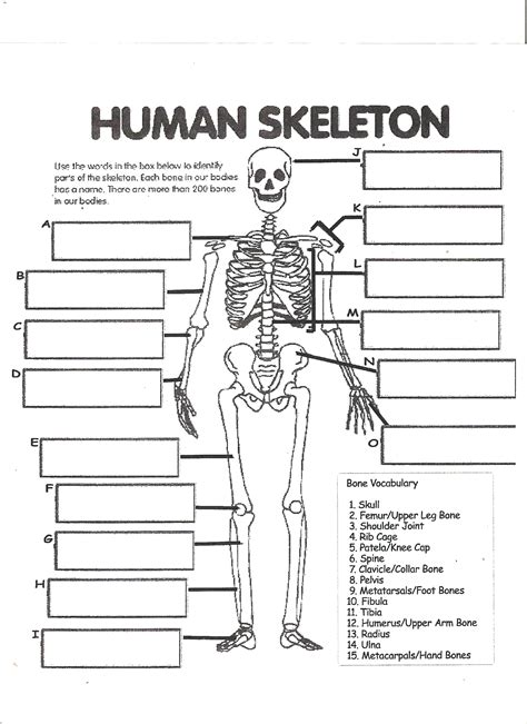 printable label the skeleton digestive system labeling worksheet answers human skeleton