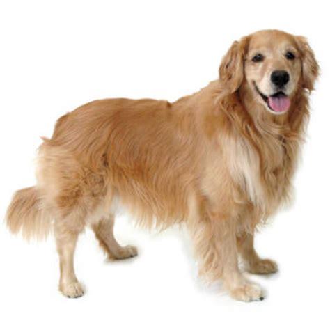 medium golden retriever golden retriever breed 187 information pictures more