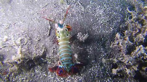 duplex d 233 finition c est quoi like a squille squille d 233 finition c est quoi mantis
