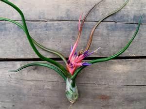 Globe Vase Air Plant Bulbosa Airplant Tillandsia Bloom Late Summer