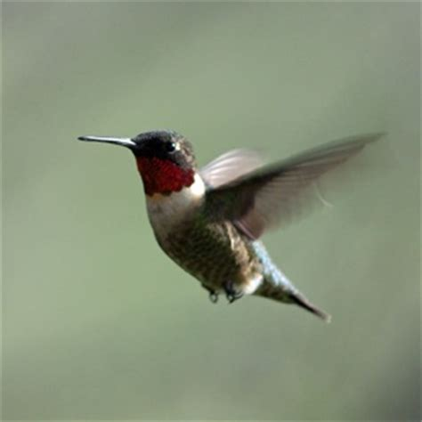 birds of iowa ruby throated hummingbird feathered