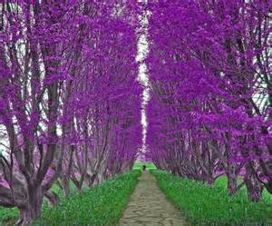 purple flower trees beautiful all things purple pinterest