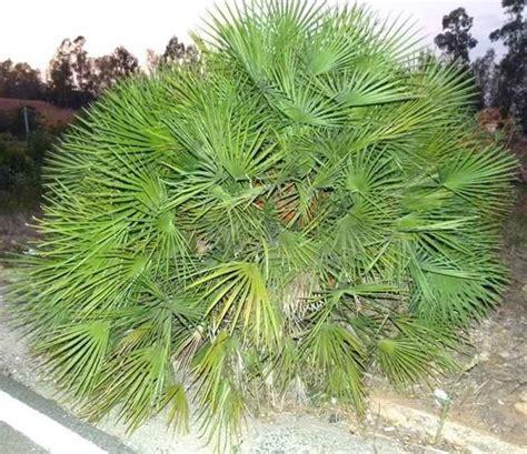 Super Piante Nane Da Giardino #1: palma-nana_NG2.jpg